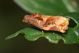 <i>Homona</i> (moth) Genus of tortrix moths