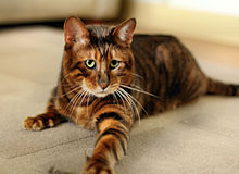 Toyger male queenanne.JPG