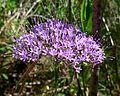 Trachelium caeruleum . Throatwort - Flickr - gailhampshire.jpg