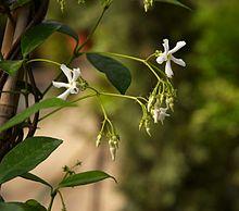 Trachelospermum Jasminoides Wikipédia