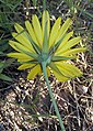 Tragopogon pratensis, oosterse morgenster bloem omwindsel.jpg