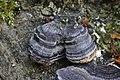Trametes versicolor (34345261930).jpg