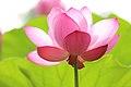Translucent pink petals (Unsplash).jpg