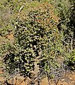 Tree Stonecrop (Crassula arborescens) (31804106844).jpg