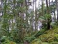 Tree ferns in Arduaine Garden - geograph.org.uk - 1549931.jpg