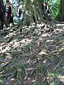 Tree roots at Avebury at summer solstice 2014.JPG