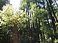 Trees in Muir Woods (2398910111).jpg