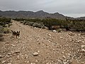 Trenchtown Road Hike and Bike Trail in the Franklin Mountains with Kagome.jpg