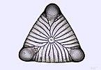 Triceratium polycystinorum.jpg