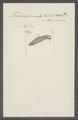 Trichoda crinita - - Print - Iconographia Zoologica - Special Collections University of Amsterdam - UBAINV0274 113 15 0047.tif