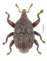 Trigonopterus mossmanensis Riedel, holotype.tif