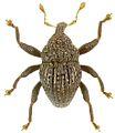 Trigonopterus scharfi holotype - ZooKeys-280-001-g076.jpg