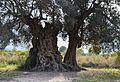 Tronc de l'olivera mil·lenària de les Valls, Xàbia.JPG