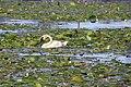 Trumpeter Swan (35740827890).jpg