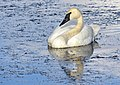 Trumpeter Swan on Seedskadee National Wildlife Refuge (28862357521).jpg