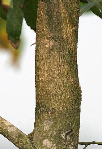 Acacia mangium - Image: Trunk in Kolkata W IMG 4577