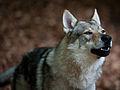 Tschechoslowakischer Wolfshund2.jpg