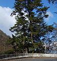 Tsuga chinensis formosana Zilupe.jpg