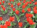 Tulipa kaufmanniana - tulipe showwinner - parc floral Paris.JPG
