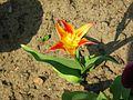 Tulipa tschimganica.jpg