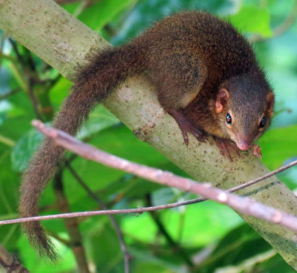 The average litter size of a Horsfield's treeshrew is 2
