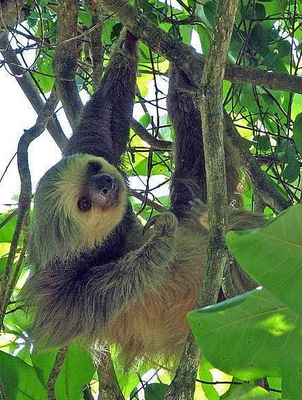 Two-toed sloth in Manuel Antonio National Park. Two-toed sloth Costa Rica - cropped.jpg