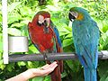 Two different macaws -Jungle Island -Miami-6a.jpg