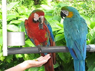 Jungle Island - Military/Greenwing Macaw with Blue-and-Golden Macaw in Jungle Island