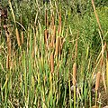 Typha domingensis 4.jpg