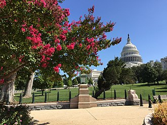 Lagerstroemia indica - Crape myrtle blooming near the United States Capitol