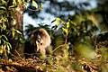 Uday Kiran Lion-tailed macaque licking.jpg