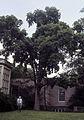 Ulmus 'Accolade' Chicago - Morton arboretum 1987.07.02.jpg