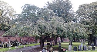 <i>Ulmus glabra</i> Horizontalis Elm cultivar