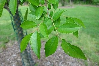 Ulmus parvifolia - Image: Ulmus parvifolia Mount Airy Arboretum DSC03835