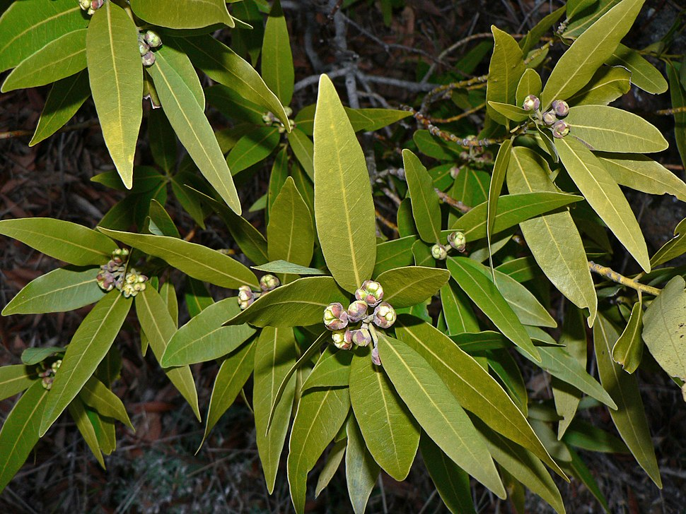 Umbellularia californica 00094