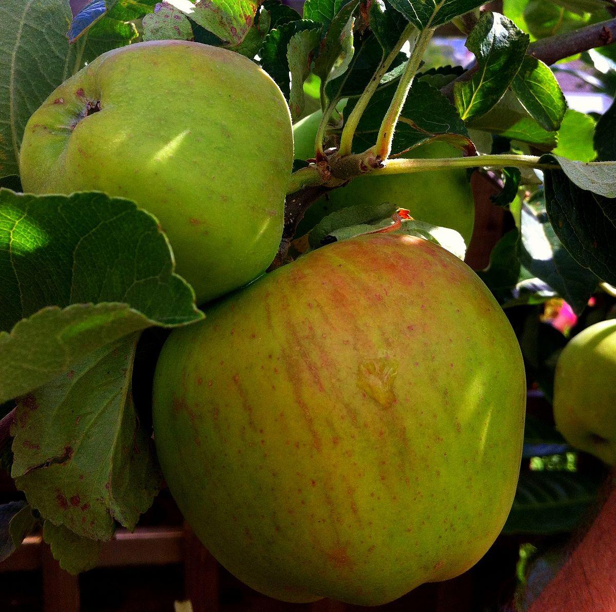 Papirovka - apple tree, beloved by all