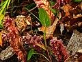 Uroczysko Puszczy Zielonki - na zdjęciu rośliny - pozostałości po działalności cysterek.JPG