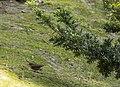 Urosphena squameiceps Taxus cuspidata.jpg