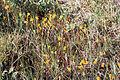 Utricularia cornuta WPC.jpg