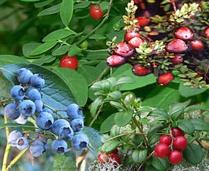Vaccinium - Vaccinium berries, from top left clockwise:  Red huckleberries, cranberries, lingonberries and blueberries
