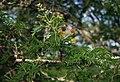 Vachellia nilotica kraussiana 2.jpg