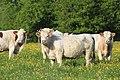 Vaches allée Pré Brus St Cyr Menthon 17.jpg