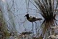 Vanellus armatus 2 MHNT.jpg