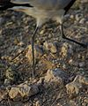 Vanellus armatus egg.JPG