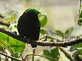 Velvet asity (Philepitta castanea), Ranomafana National Park, Madagascar.jpg