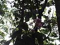 Vernonia arborea-2-bsi-yercaud-salem-India.JPG