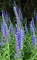 Veronica-longifolia.jpg