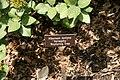 Viburnum lantana Variegata 0zz.jpg