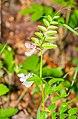 Vicia sepium in Aveyron (6).jpg