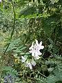 Vicia sylvatica sl15.jpg